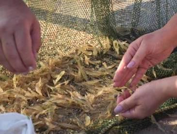 Как поймать креветку - рыбалка на Азовском море
