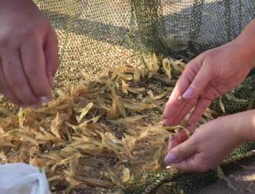 Як спіймати креветку - рибалка на Азовському морі